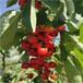 美國大紅櫻桃苗一棵價錢美國大紅櫻桃苗基地報價