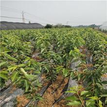 兩年生三公分櫻桃苗基地報價砂蜜豆櫻桃苗基地報價圖片