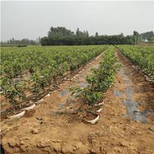 定植兩年的櫻桃苗價格及報價佳紅櫻桃苗價格及報價圖片
