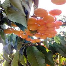 定植兩年的櫻桃苗批發多錢大紫櫻桃苗現貨供應圖片