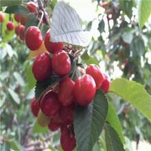 定植兩年的櫻桃苗批發價格薩米脫櫻桃苗批發價格圖片