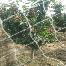 新品種櫻桃苗現貨供應拉賓斯櫻桃苗現貨供應圖片
