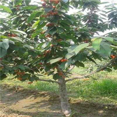 新品種櫻桃苗出售電話 紅瑪瑙櫻桃苗出售電話