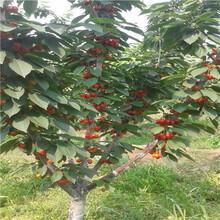 新品種櫻桃苗出售電話砂蜜豆櫻桃苗出售電話圖片