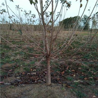 地徑一公分櫻桃苗種植技術 啟早櫻桃苗種植技術