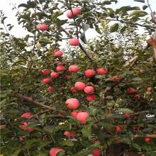 新品種蘋果苗批發價格響富蘋果苗批發價格圖片