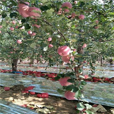 m26矮化蘋果苗批發價格 煙富6蘋果苗價格及報價