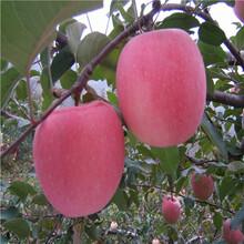 中間砧矮化蘋果苗價格及報價維納斯黃金蘋果苗一棵價錢圖片