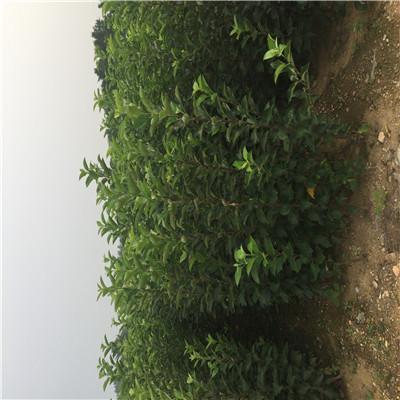 定植兩年的蘋果樹苗場電話 明月蘋果苗多錢一棵