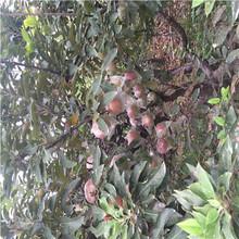 定植兩年的蘋果樹成熟季節煙富6蘋果苗價格及報價圖片