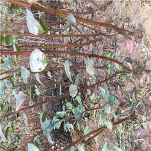 m26矮化蘋果苗種植時間明月蘋果苗基地報價圖片