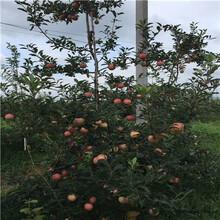 中間砧矮化蘋果苗種植技術煙富8蘋果苗出售電話圖片
