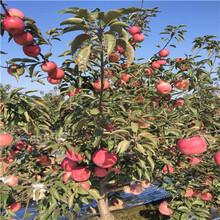 地徑一公分蘋果苗行情報價瑞雪蘋果苗行情報價圖片