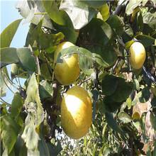 三公分梨樹多錢一棵三紅梨梨樹苗多錢一棵圖片