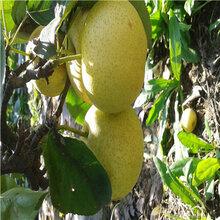 黃寶石梨樹苗批發基地定植兩年的小梨樹苗場電話