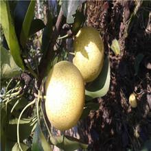 三公分梨樹批發價格紅香酥梨樹苗批發價格圖片