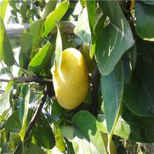 地徑一公分新梨7號梨樹苗現貨供應圖片