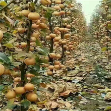 定植兩年的愛宕梨樹苗多錢一棵圖片