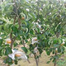金秋梨梨樹苗一棵價錢三公分梨樹批發價格
