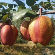 三公分梨樹種植技術新梨7號梨樹苗苗場電話圖片