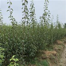 兩年生梨樹苗批發價格滿天星紅梨苗批發價格圖片