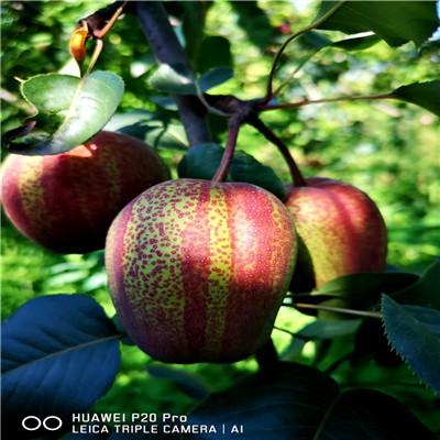 兩年生梨樹苗種植技術 紅梨苗批發基地
