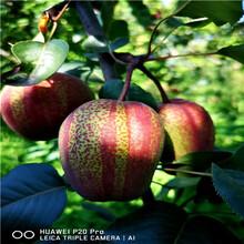 新品種梨樹苗紅梨苗基地報價圖片