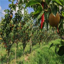 新品種梨樹苗批發價格新品種梨樹苗現貨供應圖片