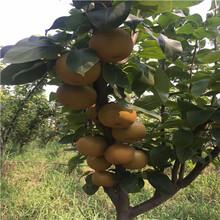 定植兩年的小梨樹種植技術圓黃梨樹苗批發基地圖片
