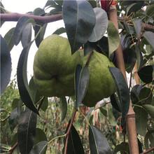 定植兩年的小梨樹價格及報價玉露香梨樹苗現貨供應圖片