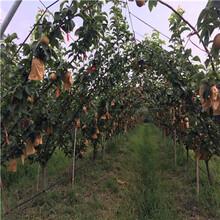 地徑一公分嫁接梨苗種植技術夏玉梨樹苗基地報價圖片