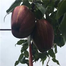 新品種梨樹苗出售電話三紅梨梨樹苗出售電話圖片