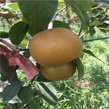 新品種梨樹苗價格及報價矮化梨樹苗價格及報價圖片