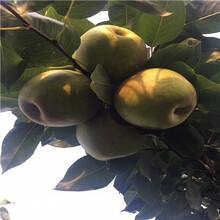 定植兩年的新梨7號梨樹苗批發多錢圖片