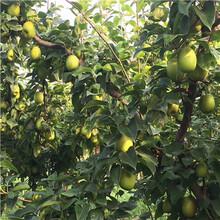 地徑一公分嫁接梨苗現貨供應矮化梨樹苗現貨供應圖片