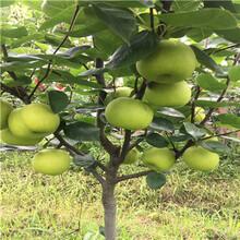 兩年生愛宕梨樹苗批發價格圖片
