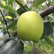 兩年生梨樹苗批發價格早酥紅梨苗出售電話圖片