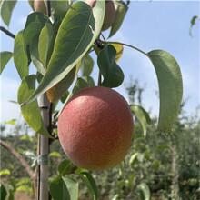 兩年生梨樹苗價格及報價彩虹梨梨樹苗價格及報價圖片