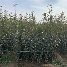 地徑一公分嫁接梨苗基地報價紅香酥梨樹苗基地報價圖片