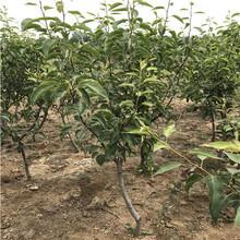山東梨樹苗基地價格及報價新品種梨樹苗價格及報價圖片