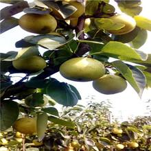 定植兩年的小梨樹價格及報價新梨7號梨樹苗苗場電話圖片