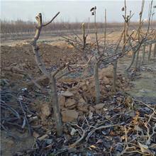 定植兩年的小梨樹一棵價錢黑梨苗現貨供應圖片