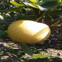 定植兩年的小梨樹基地報價黃金梨樹苗基地報價圖片