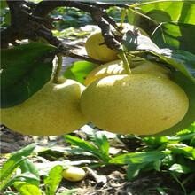 新品種梨樹苗多錢一棵南水梨樹苗價格及報價圖片