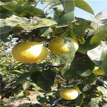 新品種梨樹苗早酥紅梨苗基地報價圖片