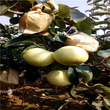 定植兩年的金果梨梨樹苗苗場電話圖片