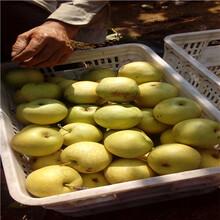 地徑一公分嫁接梨苗多錢一棵金果梨梨樹苗多錢一棵圖片