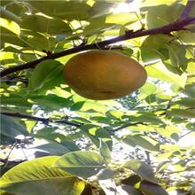 三公分梨樹新品種梨樹苗批發多錢圖片