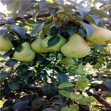 兩年生梨樹苗一棵價錢秋霜梨梨樹苗出售電話圖片