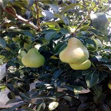 新品種梨樹苗批發價格早酥紅梨苗批發價格圖片